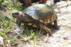 Schildkröte im Corbin Local Wildlife auf Tobago